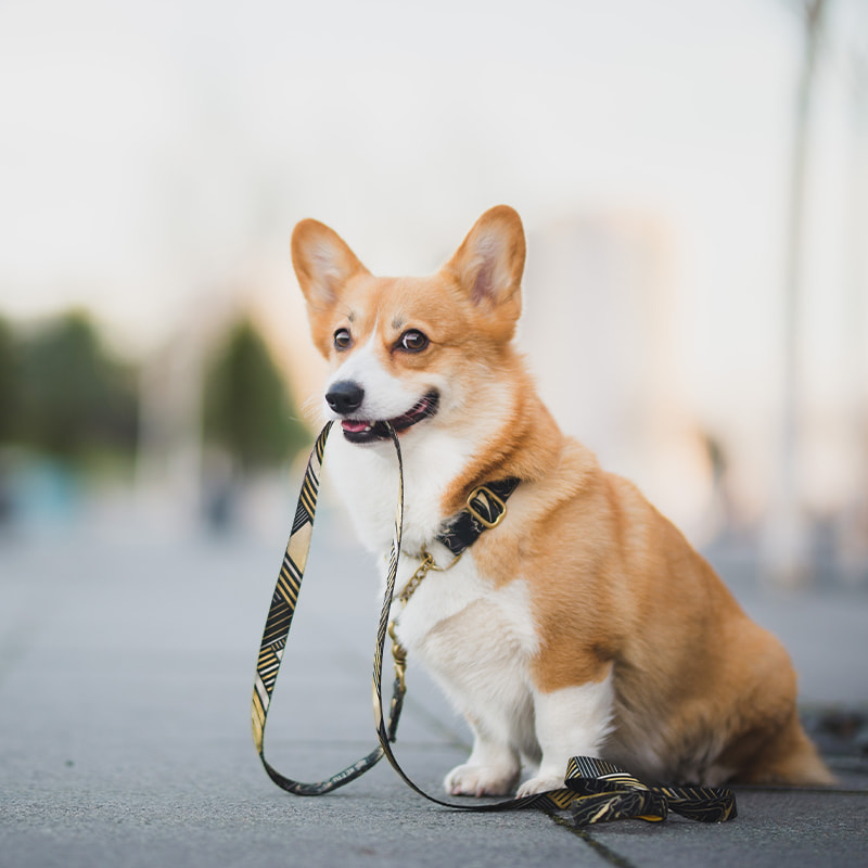 small dog holding leash in mouth