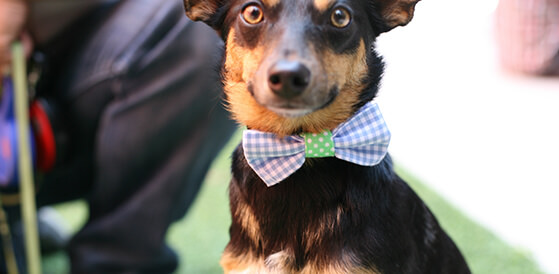 dog wearing homemade bowtie